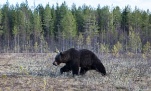 a European brown bear in a Finland forest