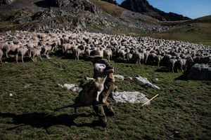 "Up at 2,000 metres (almost 6,600 feet) above the little village of Saint-Colomban-des-Villards in the Savoy region, the shepherd's biggest concern is fog when ""the ewes spread out"" and become lost.And they do not like rain. They get cold and their fleece soaks up the water. If there's no shelter, they halt and ""stand with their rear facing the wind"" until it's over"