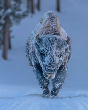 Frosty Bison, Yellowstone National Park