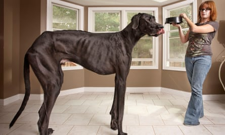 Zeus the Great Dane dog