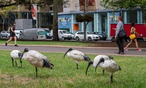 Five white ibises are shown resting in an inner-city park as people walk by, apparently oblivious to their hard-won success of urban living
