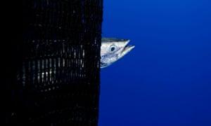 A skipjack tuna caught in a purse seine fishing operation