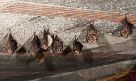 bats in the roof