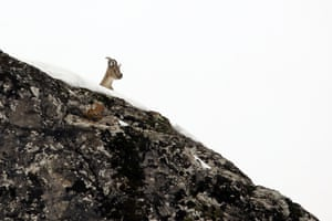 An endangered mountain goat peers over the Şeytan mountains in Bingöl, Turkey