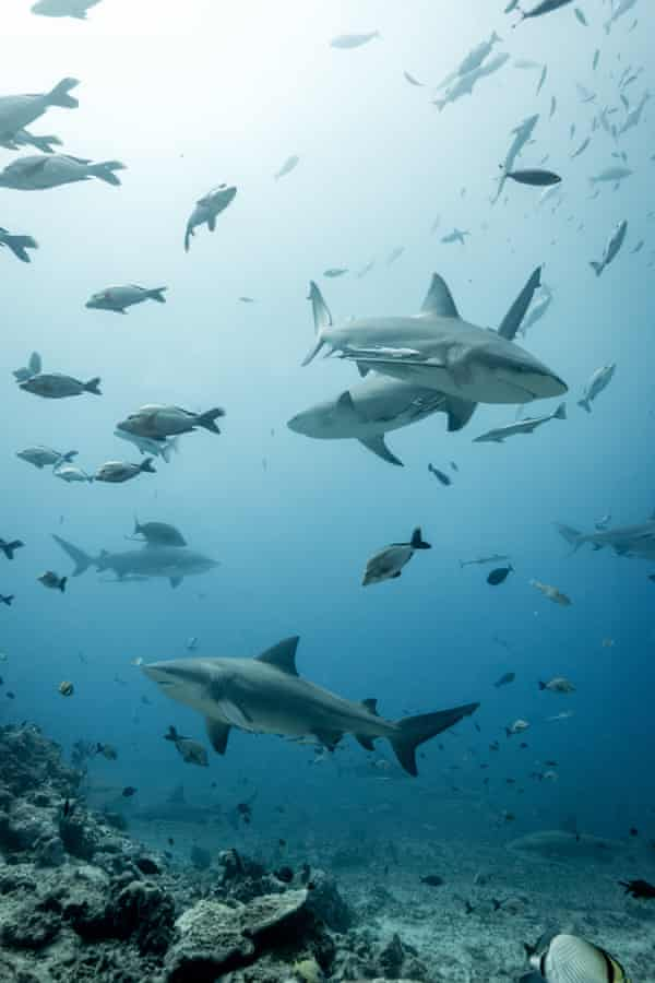 Up to 80 bull sharks might arrive during a baited dive in Fiji