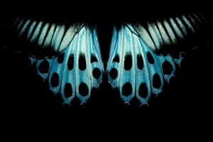 Blue Mormon Butterfly by Pratik Pradhan.