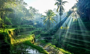Rice terraces in Bali with palm trees and rays of sunlight