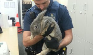 An officer from Queensland's Springwood police station holds the rabbit seized from its owners.