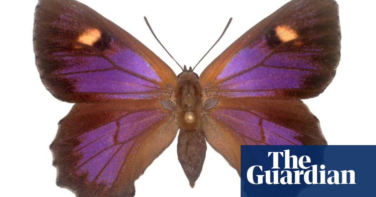 Scientists sound alarm about Australia's 26 most endangered butterflies
