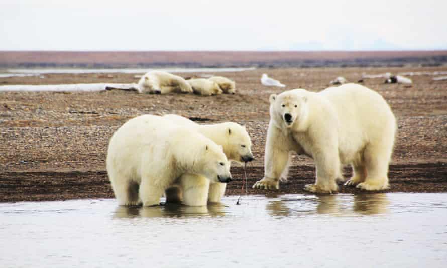 Polar bears on the ice-free shores of Barter Island, near Kaktovik, Alaska