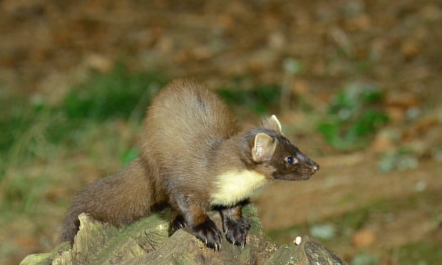 Pine marten numbers recovering according to survey