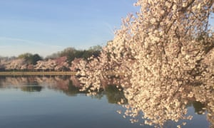 A calm reflection of cherry blossoms along the Tidal Basin in Washington DC