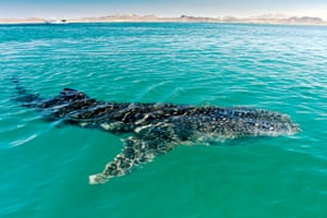 By Claire Waring. Spotted whale sharks are visible through the water in the Sea of Cortez, Mexico. Some of our group swam alongside them but I watched from the panga (boat) and seeing them from above showed just how large and powerful these creatures are.