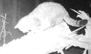 Here, Kitty … the Scottish wildcat is caught on camera in Clashindarroch forest.