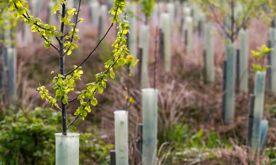 Spring leaf growth on young birch trees, protected in plastic tubes, on the North York Moors.