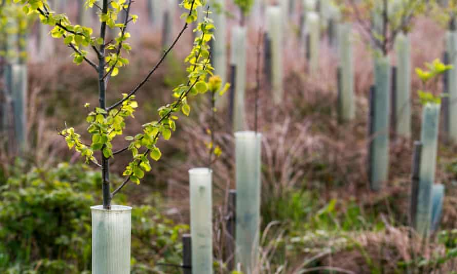 Spring leaf growth on young birch trees growing in a forestry plantation.