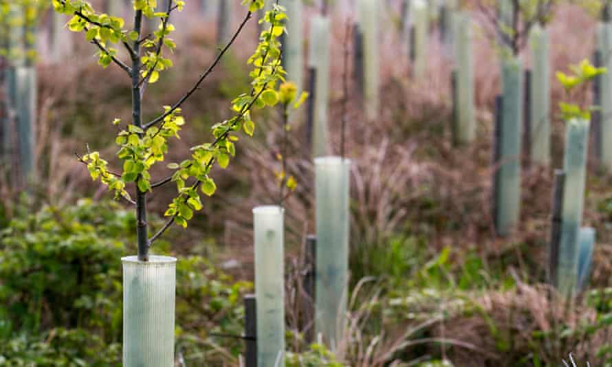 Young birch trees protected by plastic tubes in a forestry plantation in the North York Moors, England