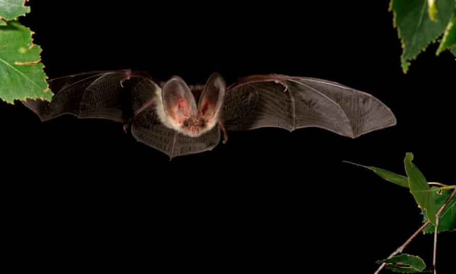 A brown long-eared bat. All 17 species of bats found breeding in Britain are protected by law.