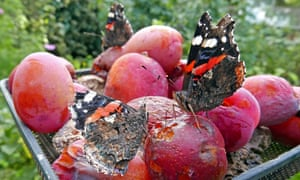 Last chance saloon for red admirals as they gather at the Crook bird table for fruit juice probably turned to alcohol.