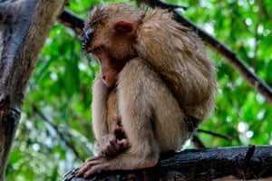 A pet macaque sits chained on a tree branch outside its owner's house in Leupung, Indonesia