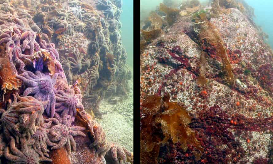 Thousands of sunflower sea stars swarm Croker Rock near Croker Island, located in the Indian Arm fjord, north of Vancouver, British Columbia, on 9 October 2013. Three weeks later, in the second photo, the sea stars have vanished.