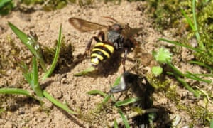 Early Cuckoo bee Nomad Nomada leucophthalma searching for nests of its host at a Clark's mining bee colony
