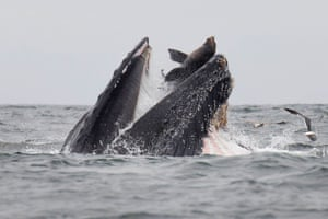 A sea lion accidentally caught in the mouth of a humpback whale in Monterey Bay, California