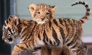 Lion and tiger cubs play together, but research says their wide prevalence in culture is not matched in reality.