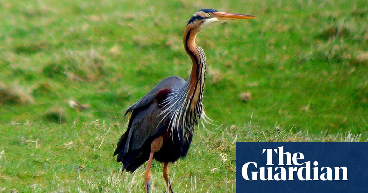Green Heron Making Itself At Home Along >> Birdwatch The Purple Heron A Rare Visitor Kept Itself Well