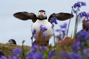Puffins with its wings out