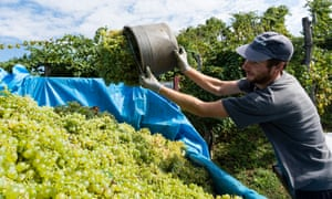 Harvest time in Valdobbiadene. A worker, at vines, places grapes into the back of a truck.