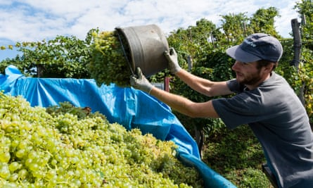 Back in vogue: grape harvest in the Veneto.