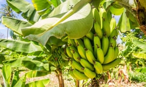 Cavendish bananas, the most widely exported variant worldwide.