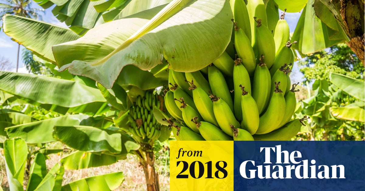 Scientists scramble to stop bananas being killed off | Global