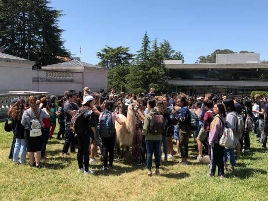 Crowds gather on Berkeley's campus to meet llamas.