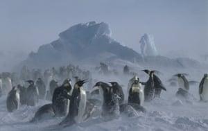 Emperors at Dawson-Lambton glacier, Antarctica