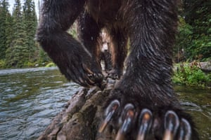 The Salmon Catchers: Terrestrial WildlifeTo capture this view of a mother grizzly bear and her cub, photographer Peter Mather set up a camera trap on a log that he knew the bears tended to traverse while fishing for salmon, in the Yukon River watershed in Canada.