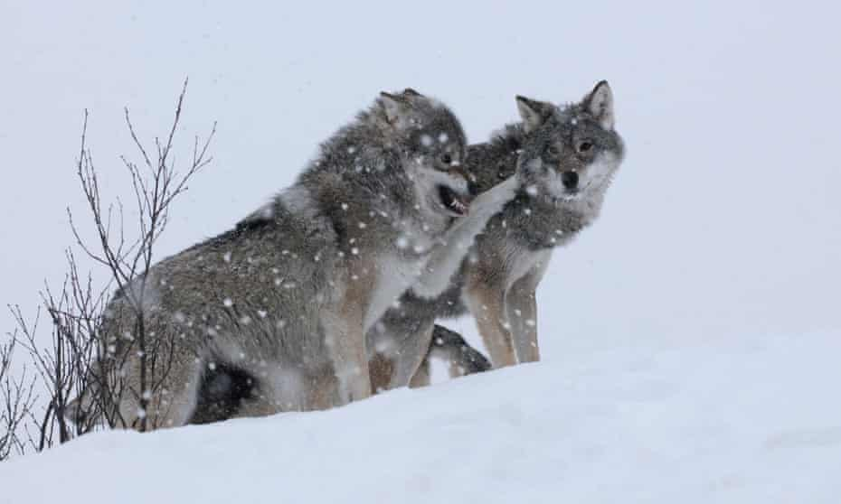 Wolves in Norway