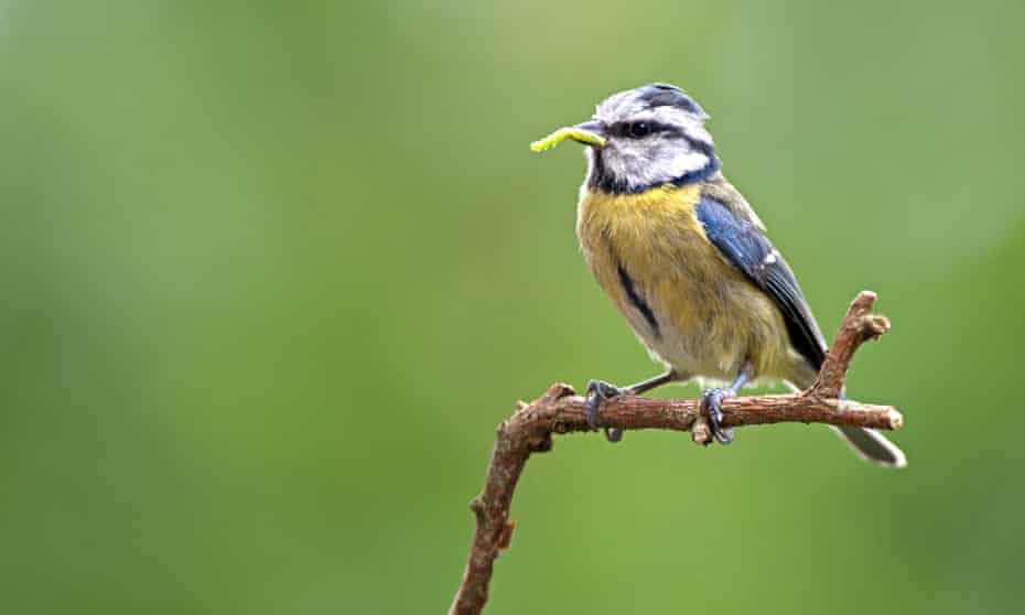 A blue tit with food for its young