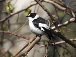 A male collared flycatcher at Halltorps hage nature reserve on Öland island in Kalmar county, Sweden