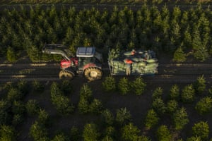 Workers load Christmas trees in Cranbrook, UK