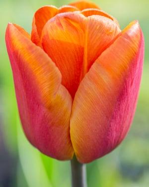 Tulipa 'Brown Sugar' .
