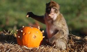 A monkey eating pumpkin.
