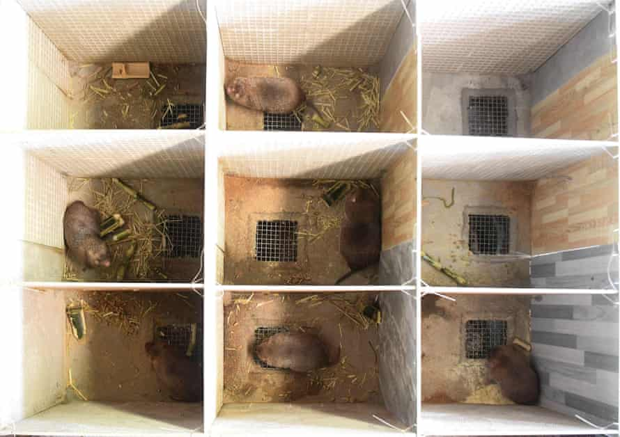 Rats bred in Qinzhou, China, 24 July, 2019
