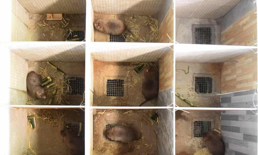 Bamboo rats at a farm in Qinzhou, in south China's Guangxi Zhuang autonomous region.