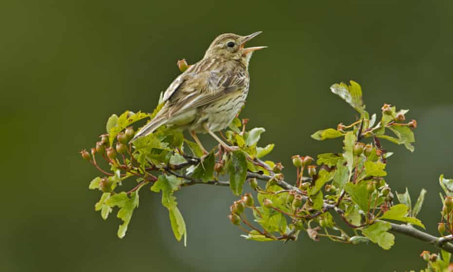 An adult tree pipit (Anthus trivialis)