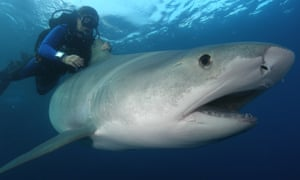 A shark on the Great Barrier Reef