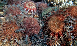 Coral-eating crown-of-thorns starfish feed on Australia's Great Barrier Reef