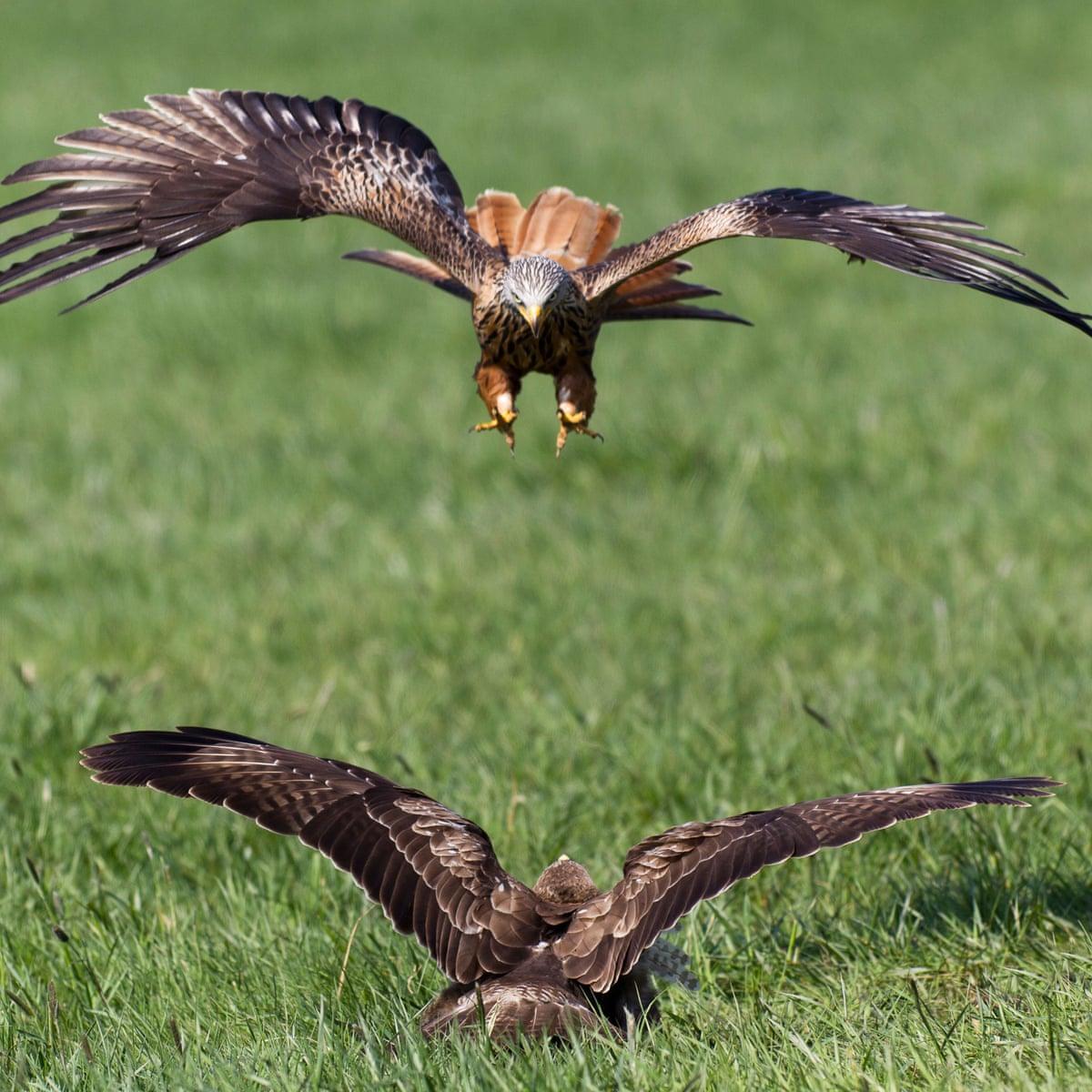 Birds Of Prey Lock In Combat Birds The Guardian