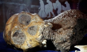 Skeleton of an australopithecine boy, on display at the Iziko South African Museum in Cape Town.
